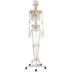 Kostra s vyznačením svalů ARNOLD