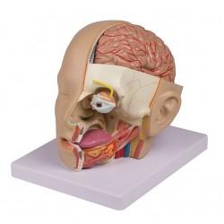 Model hlavy - 4 části