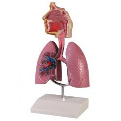 Model dýchacích cest