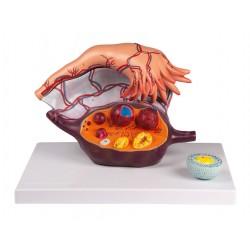 Model vaječníků