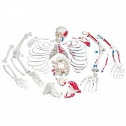 Kostra rozložená s malovanými svaly