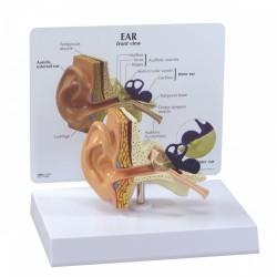 Model ucha v životní velikosti