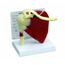 Model ramenního kloubu se svaly