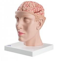 Mozek s tepnami vsazený do hlavy - 9 částí