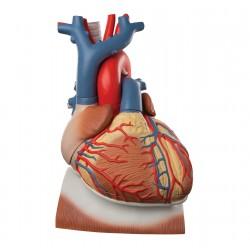 Model srdce s bránicí 3 krát zvětšeno - 10 částí
