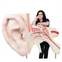Model ucha 150 krát zvětšeno - 3 části