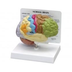 Model poloviny mozku