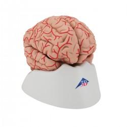 Model mozku s tepnami - 9 částí