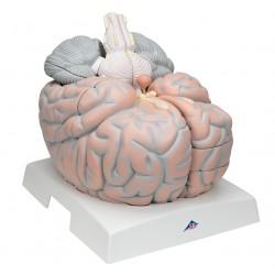 Obří model mozku 2,5 krát zvětšený - 14 částí