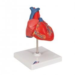 Klasický model srdce - 2 části