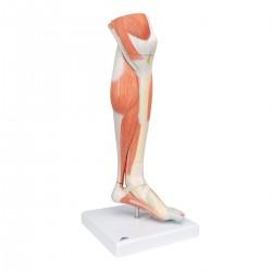 Svalstvo dolní končetiny (bérec a koleno) - 3 části