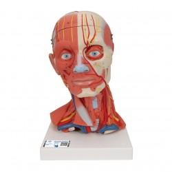Svalstvo hlavy a krku - 5 částí