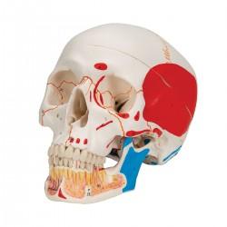 Lebka dentální s otevřenou spodní čelistí a svaly - 3 části