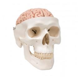 Lebka klasická s mozkem