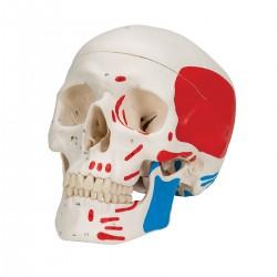 Lebka klasická se svaly, malovaná - 3 části