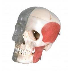 Lebka transparentní s kostí a svaly - 8 částí - BONElike