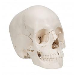 Lebka didaktická v reálném provedení - 22 částí