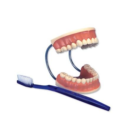 Obří model péče o zuby