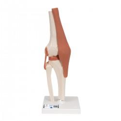 Model kolenního kloubu