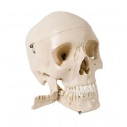 Lebka se zuby, které se dají trhat
