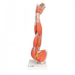 Model svalstva paže 3/4 životní velikosti - 6 částí
