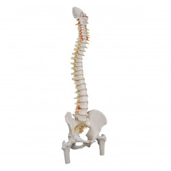 Standardní model páteře s hlavičkami stehenních kostí