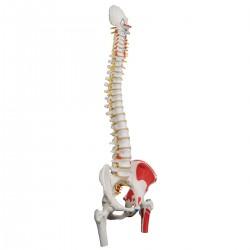 Standardní model páteře s hlavičkami stehenních kostí a malovanými svaly