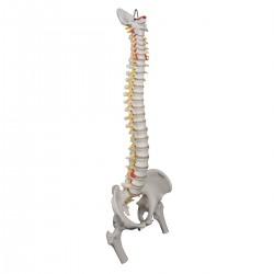 Odolný model páteře s hlavičkami stehenních kostí