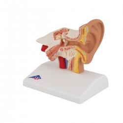 Model ucha na psací stůl 1,5 krát zvětšeno