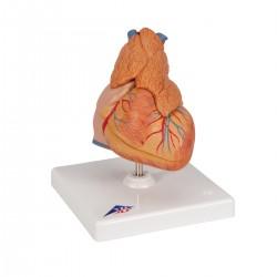 Model srdce s brzlíkem - 3 části