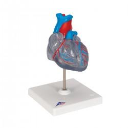 Model srdce s přívodním systémem srdečním - 2 části