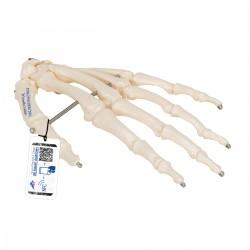 Kostra ruky spojená drátem