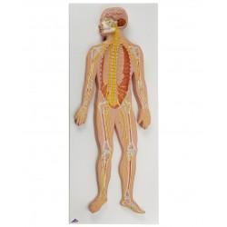 Nervový systém v poloviční životní velikosti