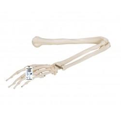 Kostra horní končetiny spojená drátem