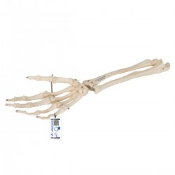 Kostra ruky s částí kosti loketní a vřetenní - spojená drátem