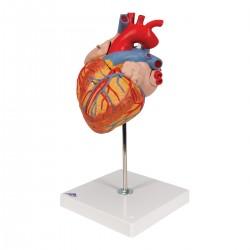 Zvětšený model srdce - 4 části