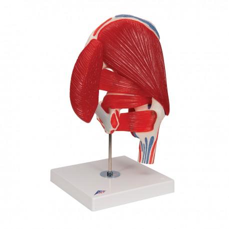 Kyčelní kloub s odnímatelnými svaly - 7 částí