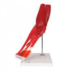 Loketní kloub s odnímatelnými svaly - 8 částí