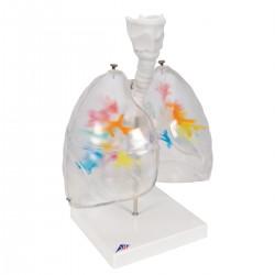 Model Bronchiálního stromu s hrtanem a transparentními plícemi