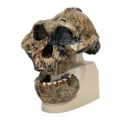 Antropologická lebka (pre-lidský hominid)