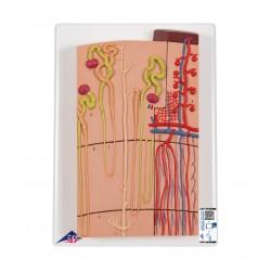 Model nefronů a cév - 120 krát zvětšené