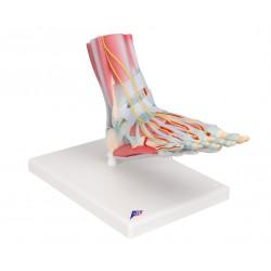 Kostra nohy s vazy a svaly - 6 částí