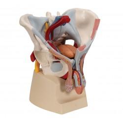 Mužská pánev s vazy, svaly a pohlavními orgány - 7 částí