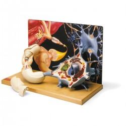 Model lidského neuronu 3D