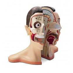 Model hlavy a krku - 5 částí
