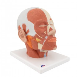 Model svalstva hlavy