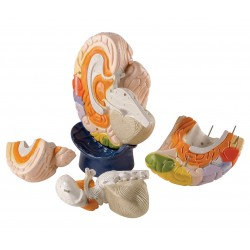 Obří model mozku - 4 části