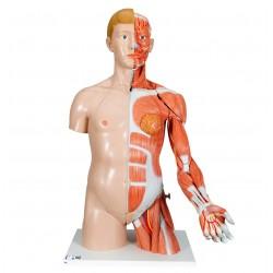 Luxusní torzo oboupohlavní se svalstvem horní končetiny - 33 částí