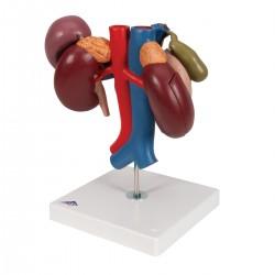 Ledviny se zadními orgány dutiny břišní