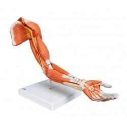 Luxusní model svalstva paže v životní velikosti - 6 částí